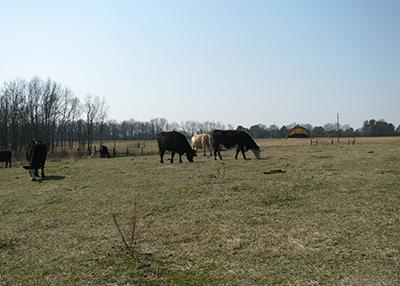 Cattle grazing in Gadsden Alabama